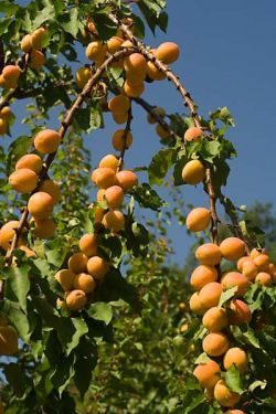 fruit grove of Bose, July 2006