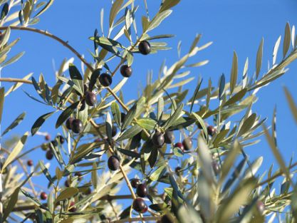 olive a San Masseo - Assisi