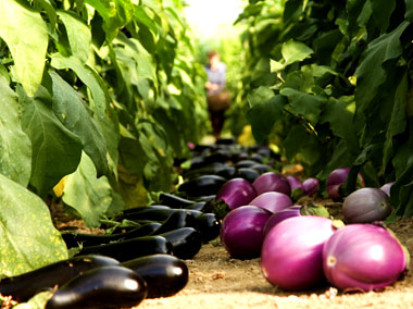 The harvest of aubergines